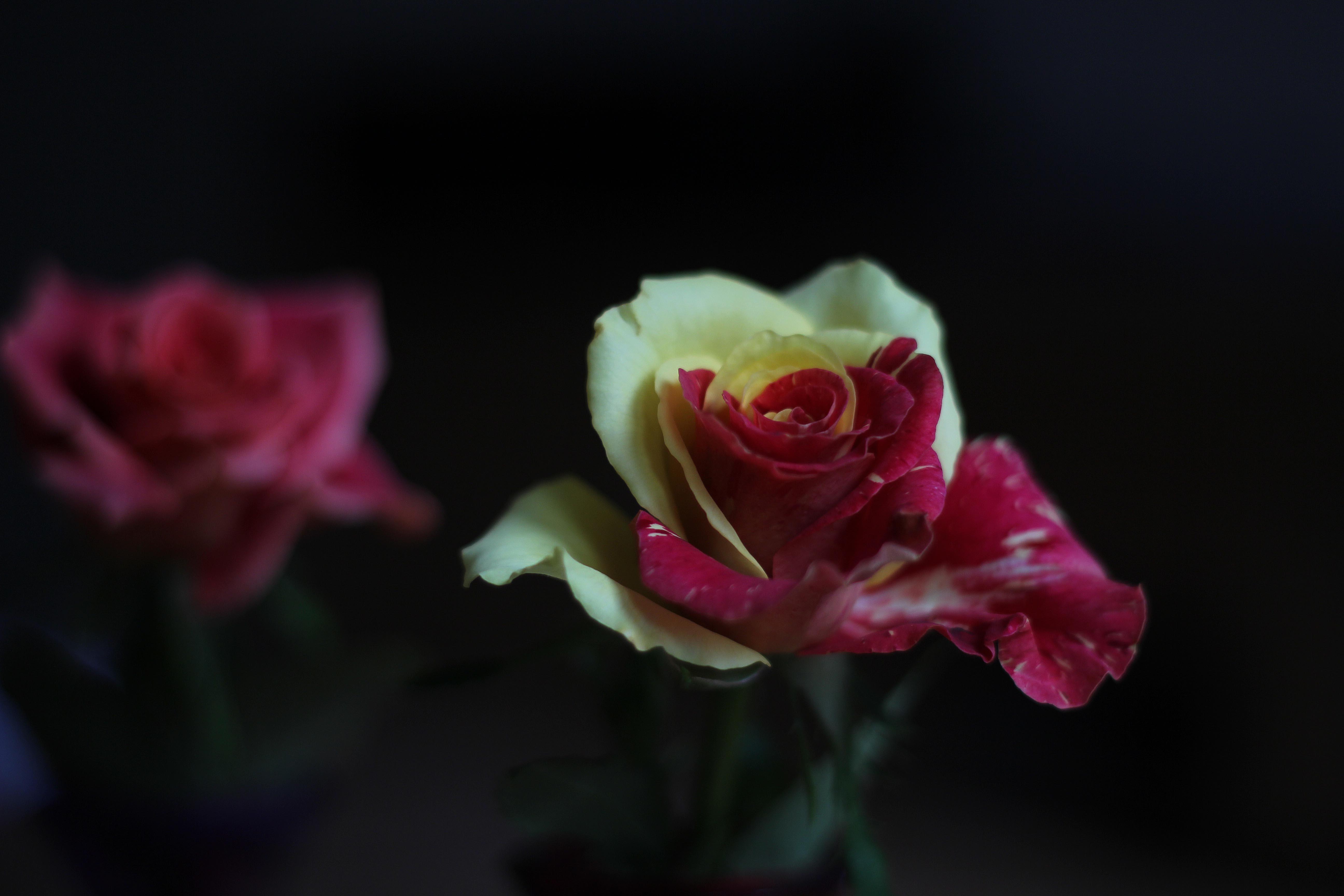 duesipics_rose